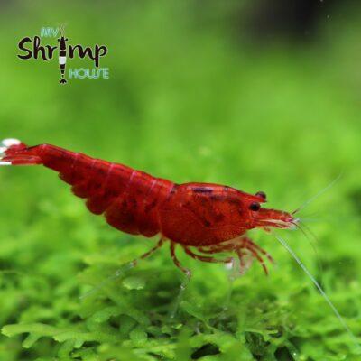 Extrem Red. Gambas de acuario
