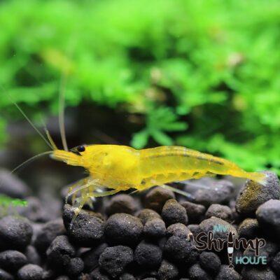 Yellow King Kong. Gambas de acuario