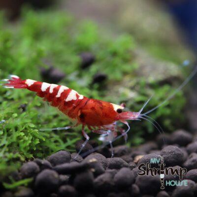 Red Pinto Cebra. Gambas de acuario