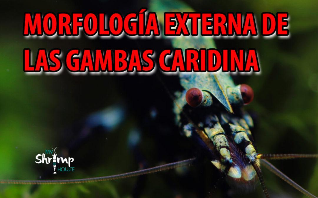 Morfología externa de las Gambas Caridinas