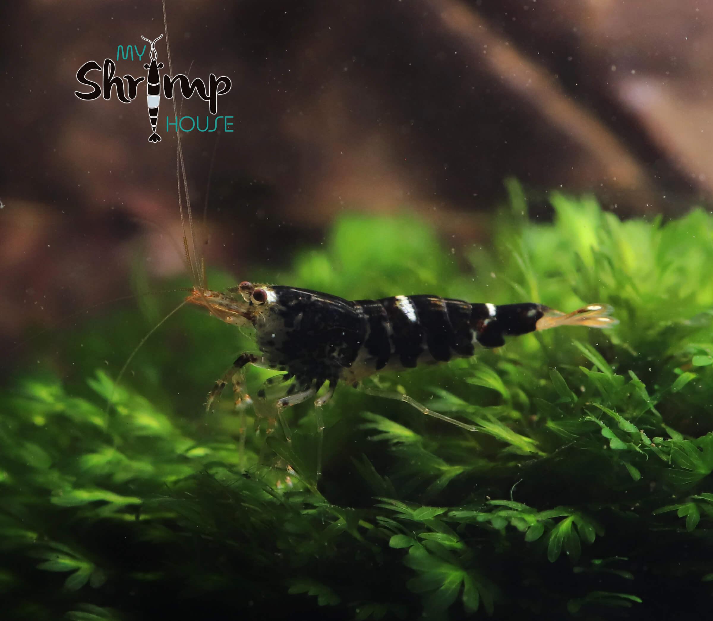 Gambas caridina super crystal Black o SCB para acuarios con negros intensos