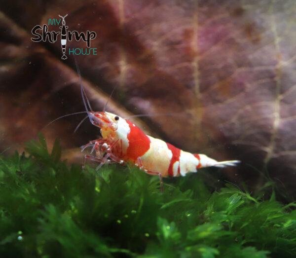 Caridina Crystal red Shrimp o CRS mejor PRL pure red line
