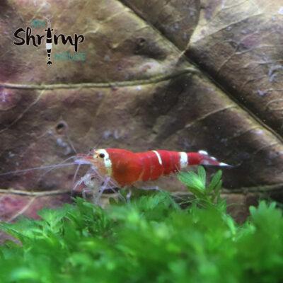 Gambas caridina super crystal red o SCR para acuarios con rojos intensos