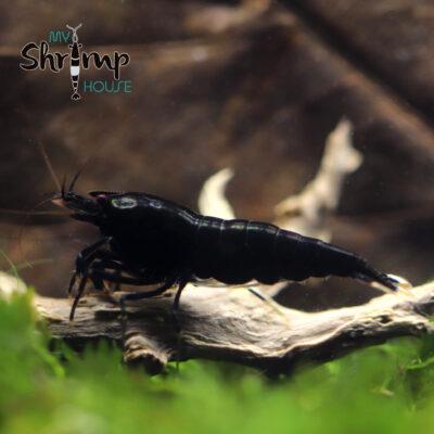 Gamba shrimp caridina extrem king kong taiwan