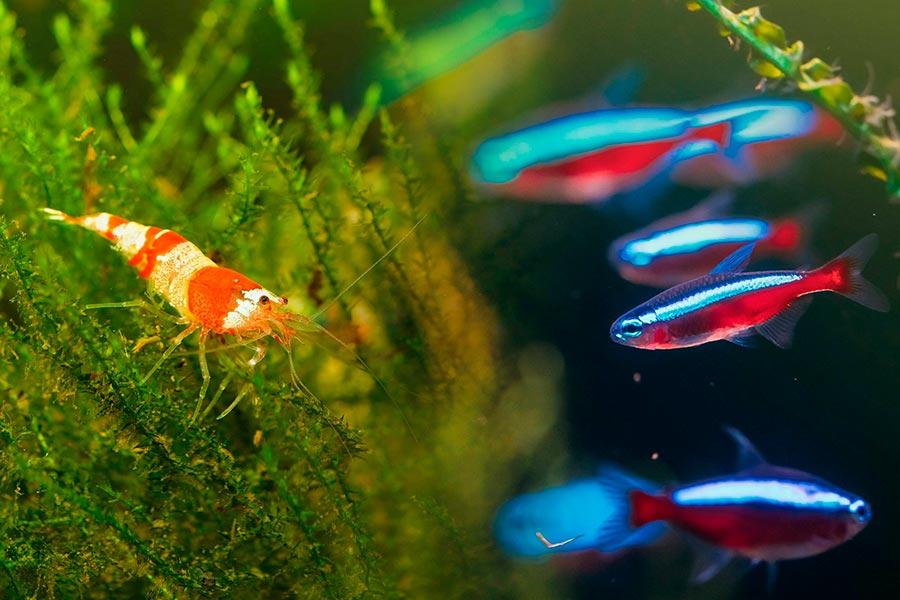 Peces compatibles con gambas: ¿pueden convivir juntos en el mismo acuario?
