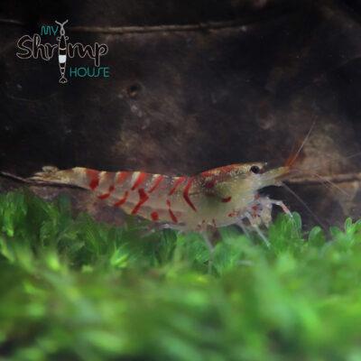 caridina tiger color rojo, variedad preciosa entre las tiger para hacer hibridas