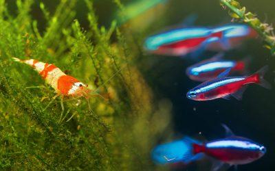¿Pueden convivir gambas y peces juntos en el mismo acuario?