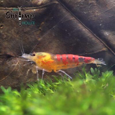 Caridina Calceo (Golden Dragon). Gambas de acuario