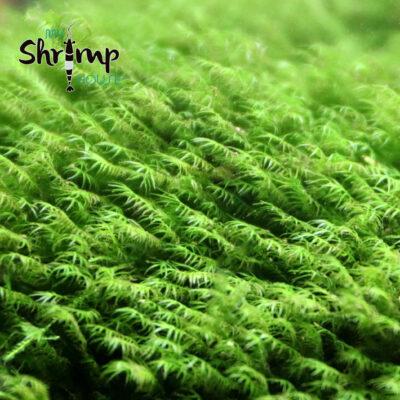 fissidens fontanus moss