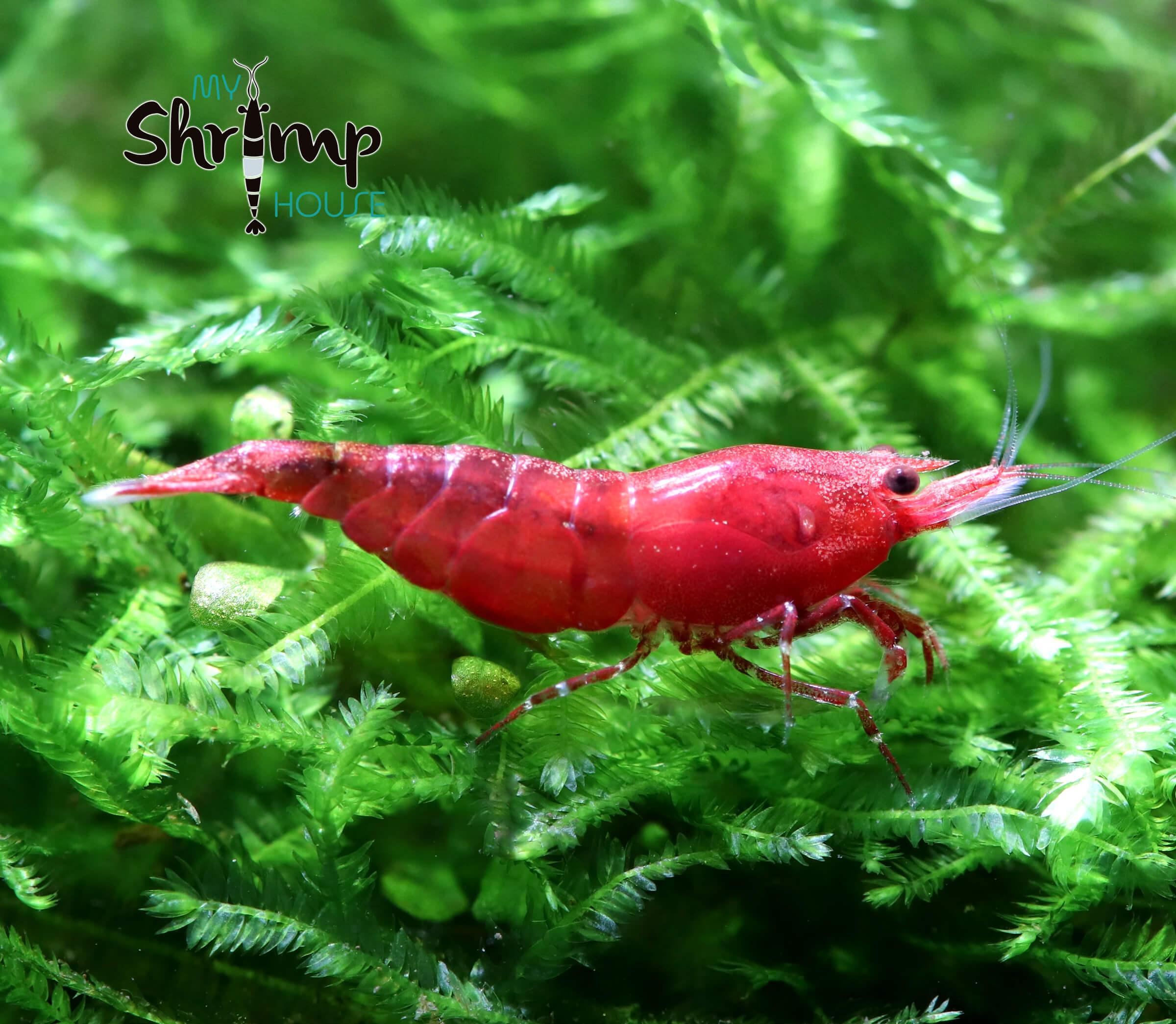 La gamba con el color rojo mas intenso y uniforme, de tono rojo sangre. No tiene partes transparentes como las red cherrys, lo que las hace muy apreciadas.