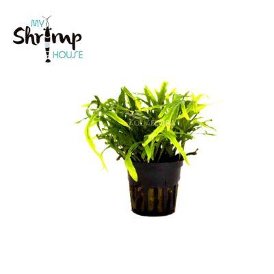 Verde, hoja estrecha, es una de las Microsorum más bajitas pero igualmente una planta resistente.