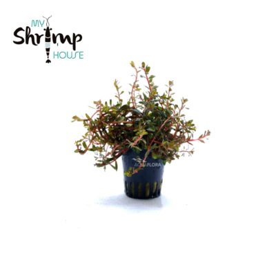 Rotala rotundifolia H´ra