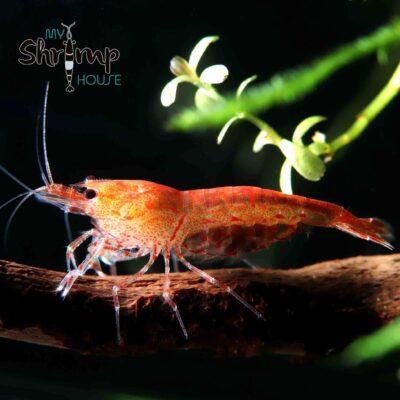 shrimp blood shot gambas