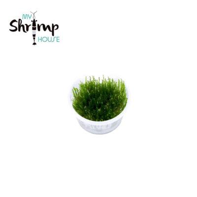 El musgo para acuarios Spiky Moss es un musgo con brotes ramificados de color verde intenso, puntiagudo que crece verticalmente, donde sus brotes van a crecer de una forma ideal.